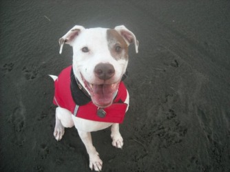 Image shows a white pit bull with a brown spot on one eye and sporting a red vest. The dog appears to be on a beach.