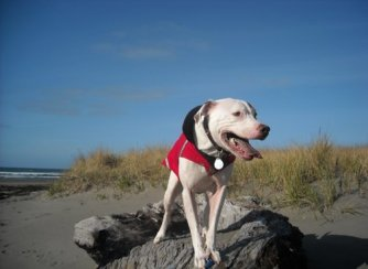 Image shows a white pit bull with a brown spot on one eye and sporting a red vest. The dog is standing on a rock on the beach.